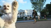 <strong>Poodle Taking Oathe of Office as first Dog elected President of the United States</strong>