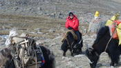 <strong>The traveler on the yak back made a Kailash trek in May, 2010. Due to the challenging route at high altitude, trekkers must hire a yak or horse to carry their luggage.</strong>