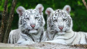 <strong>Tiger Cubs</strong>