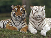 <strong>Tigers Best Friends</strong>