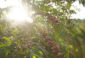 <strong>The beauty of Hawaii is captured in the coffee of Kona</strong>