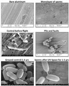 <strong>Electron micrographs of Bacillus pumilus SAFR-032 spores on aluminum before and after exposure to space conditions. Image Credit: P. Vaishampayan, et al./Astrobiology</strong>