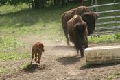 <strong>Buffalo Creek Vacations, Bison Far, Cabin Rental</strong>