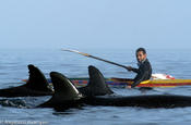 <strong>Kayaking between false killer whale, a surprise visit, always possible in the waters of Valdes Peninsula.</strong>