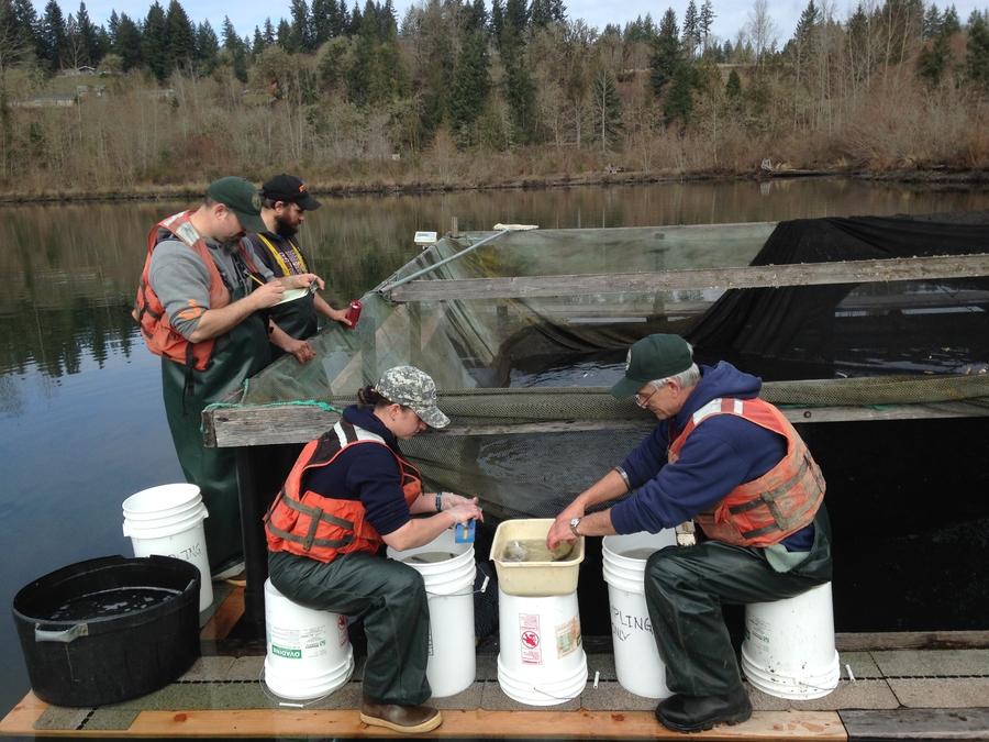 Community Program Aides 50,000 Salmon To Start Their Trek To Ocean