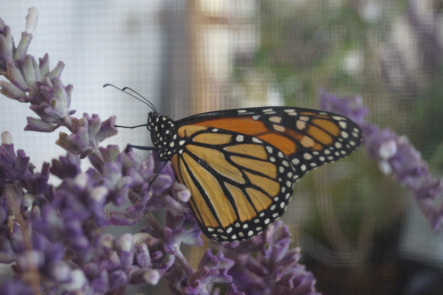 Watch Beautiful Monarch Butterflies Spread Their Wings and Fly Away at This Year's Virtual Monarch Butterfly Releases