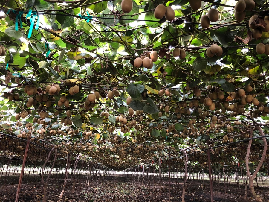 Strong Consumer Demand Prompts Zespri to Plan for Year-Round Supply