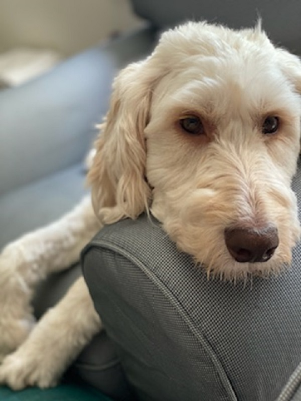 Summer, a Emotional Support Dog, Will Die and Her Owner (a College Student) Will be Lost if CarProperty.com Can't Help Them Get the Ongoing Life Long Support Needed to Keep Her Alive – You Can Help
